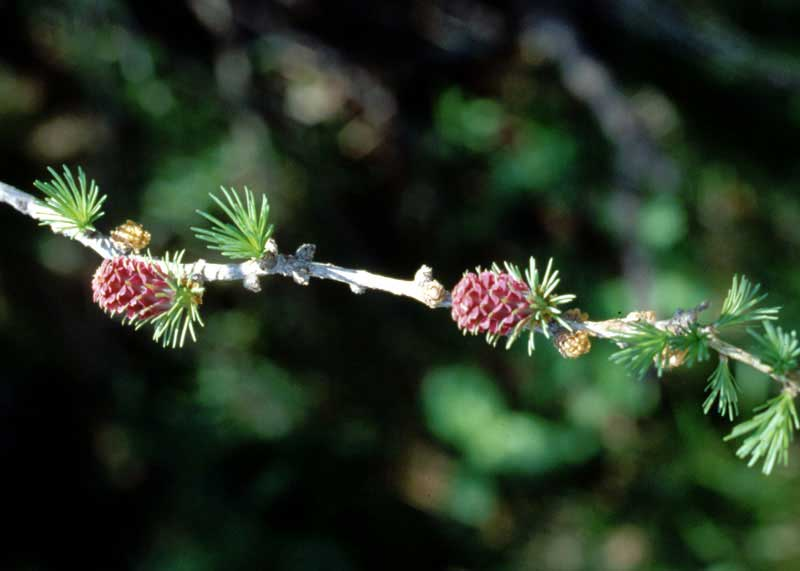 Flowers of a <em>Larch-Larix decidua</em><br>