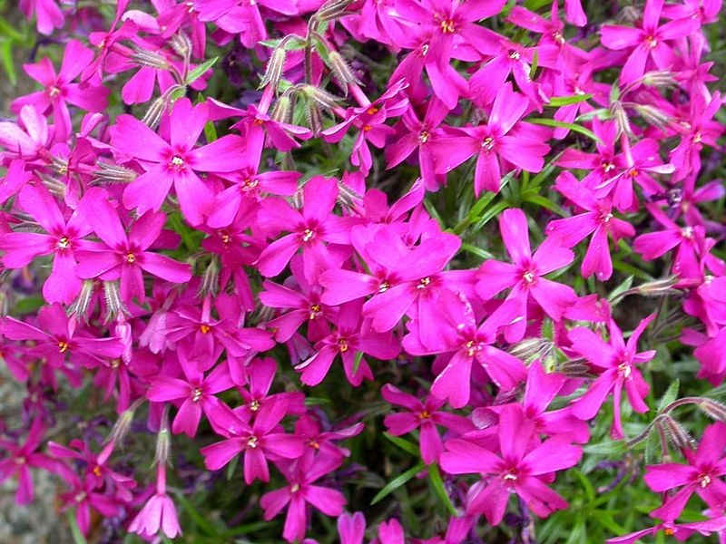 Phlox subulata 'Temiskaming'